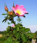 """Wein-Rose - Rosa rubiginosa; Bildquelle: <a href=""""https://www.pflanzen-deutschland.de/quellen.php?bild_quelle=Wikipedia User MPF"""">Wikipedia User MPF</a>; Bildlizenz: <a href=""""https://creativecommons.org/licenses/by-sa/3.0/deed.de"""" target=_blank title=""""Namensnennung - Weitergabe unter gleichen Bedingungen 3.0 Unported (CC BY-SA 3.0)"""">CC BY-SA 3.0</a>;"""