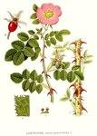 """Wein-Rose - Rosa rubiginosa; Bildquelle: <a href=""""https://www.pflanzen-deutschland.de/quellen.php?bild_quelle=Carl Axel Magnus Lindman Bilder ur Nordens Flora 1901-1905"""">Carl Axel Magnus Lindman Bilder ur Nordens Flora 1901-1905</a>; Bildlizenz: <a href=""""https://creativecommons.org/licenses/publicdomain/deed.de"""" target=_blank title=""""Public Domain"""">Public Domain</a>;"""