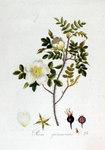 """Bibernell-Rose - Rosa pimpinellifolia; Bildquelle: <a href=""""https://www.pflanzen-deutschland.de/quellen.php?bild_quelle=Jan Kops, Flora Batava, Volume 2 1807"""">Jan Kops, Flora Batava, Volume 2 1807</a>; Bildlizenz: <a href=""""https://creativecommons.org/licenses/by-sa/3.0/deed.de"""" target=_blank title=""""Namensnennung - Weitergabe unter gleichen Bedingungen 3.0 Unported (CC BY-SA 3.0)"""">CC BY-SA 3.0</a>;"""
