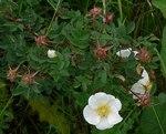 """Bibernell-Rose - Rosa pimpinellifolia; Bildquelle: <a href=""""https://www.pflanzen-deutschland.de/quellen.php?bild_quelle=Leo Michels, Untereisesheim"""">Leo Michels, Untereisesheim</a>; Bildlizenz: <a href=""""https://creativecommons.org/licenses/by-sa/3.0/deed.de"""" target=_blank title=""""Namensnennung - Weitergabe unter gleichen Bedingungen 3.0 Unported (CC BY-SA 3.0)"""">CC BY-SA 3.0</a>;"""