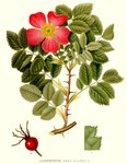 "Apfel-Rose - Rosa villosa; Bildquelle: <a href=""https://www.pflanzen-deutschland.de/quellen.php?bild_quelle=Carl Axel Magnus Lindman Bilder ur Nordens Flora 1901-1905"">Carl Axel Magnus Lindman Bilder ur Nordens Flora 1901-1905</a>; Bildlizenz: <a href=""https://creativecommons.org/licenses/publicdomain/deed.de"" target=_blank title=""Public Domain"">Public Domain</a>;"