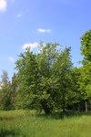 """Grau-Erle - Alnus incana; Bildquelle: <a href=""""https://www.pflanzen-deutschland.de/quellen.php?bild_quelle=Wikipedia User Willow"""">Wikipedia User Willow</a>; Bildlizenz: <a href=""""https://creativecommons.org/licenses/by-sa/3.0/deed.de"""" target=_blank title=""""Namensnennung - Weitergabe unter gleichen Bedingungen 3.0 Unported (CC BY-SA 3.0)"""">CC BY-SA 3.0</a>;"""