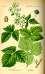 """Kratzbeere - Rubus caesius agg.; Bildquelle: <a href=""""https://www.pflanzen-deutschland.de/quellen.php?bild_quelle=Prof. Dr. Otto Wilhelm Thom� Flora von Deutschland, Österreich und der Schweiz 1885, Gera, Germany"""">Prof. Dr. Otto Wilhelm Thom� Flora von Deutschland, Österreich und der Schweiz 1885, Gera, Germany</a>; Bildlizenz: <a href=""""https://creativecommons.org/licenses/publicdomain/deed.de"""" target=_blank title=""""Public Domain"""">Public Domain</a>;"""