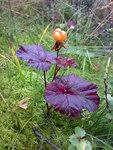 """Moltebeere - Rubus chamaemorus; Bildquelle: <a href=""""https://www.pflanzen-deutschland.de/quellen.php?bild_quelle=Wikipedia User Bjoertvedt"""">Wikipedia User Bjoertvedt</a>; Bildlizenz: <a href=""""https://creativecommons.org/licenses/by-sa/3.0/deed.de"""" target=_blank title=""""Namensnennung - Weitergabe unter gleichen Bedingungen 3.0 Unported (CC BY-SA 3.0)"""">CC BY-SA 3.0</a>;"""