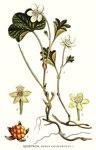"""Moltebeere - Rubus chamaemorus; Bildquelle: <a href=""""https://www.pflanzen-deutschland.de/quellen.php?bild_quelle=Carl Axel Magnus Lindman Bilder ur Nordens Flora 1901-1905"""">Carl Axel Magnus Lindman Bilder ur Nordens Flora 1901-1905</a>; Bildlizenz: <a href=""""https://creativecommons.org/licenses/publicdomain/deed.de"""" target=_blank title=""""Public Domain"""">Public Domain</a>;"""