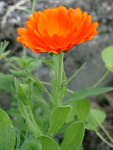 "Ringelblume - Calendula officinalis; Bildquelle: © <a href=""https://www.pflanzen-deutschland.de/quellen.php?bild_quelle=Bönisch 2009"">Bönisch 2009</a> - <b>All rights reserved</b>"