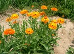 "Ringelblume - Calendula officinalis; Bildquelle: <a href=""https://www.pflanzen-deutschland.de/quellen.php?bild_quelle=Wikipedia User KENPEI"">Wikipedia User KENPEI</a>; Bildlizenz: <a href=""https://creativecommons.org/licenses/by-sa/3.0/deed.de"" target=_blank title=""Namensnennung - Weitergabe unter gleichen Bedingungen 3.0 Unported (CC BY-SA 3.0)"">CC BY-SA 3.0</a>; <br>Wiki Commons Bildbeschreibung: <a href=""https://commons.wikimedia.org/wiki/File:Calendula_officinalis3.jpg"" target=_blank title=""https://commons.wikimedia.org/wiki/File:Calendula_officinalis3.jpg"">https://commons.wikimedia.org/wiki/File:Calendula_officinalis3.jpg</a>"