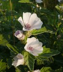 "Echter Eibisch - Althaea officinalis; Bildquelle: <a href=""https://www.pflanzen-deutschland.de/quellen.php?bild_quelle=Wikipedia User BerndH"">Wikipedia User BerndH</a>; Bildlizenz: <a href=""https://creativecommons.org/licenses/by-sa/3.0/deed.de"" target=_blank title=""Namensnennung - Weitergabe unter gleichen Bedingungen 3.0 Unported (CC BY-SA 3.0)"">CC BY-SA 3.0</a>;"