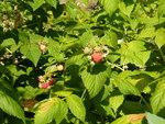 """Himbeere - Rubus idaeus; Bildquelle: <a href=""""https://www.pflanzen-deutschland.de/quellen.php?bild_quelle=Wikipedia User Cillas"""">Wikipedia User Cillas</a>; Bildlizenz: <a href=""""https://creativecommons.org/licenses/by-sa/3.0/deed.de"""" target=_blank title=""""Namensnennung - Weitergabe unter gleichen Bedingungen 3.0 Unported (CC BY-SA 3.0)"""">CC BY-SA 3.0</a>;"""