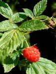 """Himbeere - Rubus idaeus; Bildquelle: <a href=""""https://www.pflanzen-deutschland.de/quellen.php?bild_quelle=Wikipedia User Hedwig Storch"""">Wikipedia User Hedwig Storch</a>; Bildlizenz: <a href=""""https://creativecommons.org/licenses/by-sa/3.0/deed.de"""" target=_blank title=""""Namensnennung - Weitergabe unter gleichen Bedingungen 3.0 Unported (CC BY-SA 3.0)"""">CC BY-SA 3.0</a>;"""