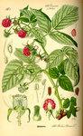 """Himbeere - Rubus idaeus; Bildquelle: <a href=""""https://www.pflanzen-deutschland.de/quellen.php?bild_quelle=Prof. Dr. Otto Wilhelm Thome Flora von Deutschland, Österreich und der Schweiz 1885, Gera, Germany"""">Prof. Dr. Otto Wilhelm Thome Flora von Deutschland, Österreich und der Schweiz 1885, Gera, Germany</a>; Bildlizenz: <a href=""""https://creativecommons.org/licenses/publicdomain/deed.de"""" target=_blank title=""""Public Domain"""">Public Domain</a>;"""