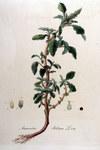 """Aufsteigender Fuchsschwanz - Amaranthus blitum; Bildquelle: <a href=""""https://www.pflanzen-deutschland.de/quellen.php?bild_quelle=Wikipedia User FloraUploadR"""">Wikipedia User FloraUploadR</a>; Bildlizenz: <a href=""""https://creativecommons.org/licenses/by-sa/3.0/deed.de"""" target=_blank title=""""Namensnennung - Weitergabe unter gleichen Bedingungen 3.0 Unported (CC BY-SA 3.0)"""">CC BY-SA 3.0</a>; <br>Wiki Commons Bildbeschreibung: <a href=""""https://commons.wikimedia.org/wiki/File:Amaranthus_blitum_%E2%80%94_Flora_Batava_%E2%80%94_Volume_v9.jpg"""" target=_blank title=""""https://commons.wikimedia.org/wiki/File:Amaranthus_blitum_%E2%80%94_Flora_Batava_%E2%80%94_Volume_v9.jpg"""">https://commons.wikimedia.org/wiki/File:Amaranthus_blitum_%E2%80%94_Flora_Batava_%E2%80%94_Volume_v9.jpg</a>"""