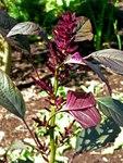 """Rispiger Fuchsschwanz - Amaranthus cruentus; Bildquelle: <a href=""""https://www.pflanzen-deutschland.de/quellen.php?bild_quelle=Wikipedia User Stan Shebs 2005"""">Wikipedia User Stan Shebs 2005</a>; Bildlizenz: <a href=""""https://creativecommons.org/licenses/by-sa/3.0/deed.de"""" target=_blank title=""""Namensnennung - Weitergabe unter gleichen Bedingungen 3.0 Unported (CC BY-SA 3.0)"""">CC BY-SA 3.0</a>;"""