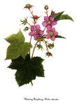 """Zimt-Himbeere - Rubus odoratus; Bildquelle: <a href=""""https://www.pflanzen-deutschland.de/quellen.php?bild_quelle=Wikipedia User DcoetzeeBot"""">Wikipedia User DcoetzeeBot</a>; Bildlizenz: <a href=""""https://creativecommons.org/licenses/by-sa/3.0/deed.de"""" target=_blank title=""""Namensnennung - Weitergabe unter gleichen Bedingungen 3.0 Unported (CC BY-SA 3.0)"""">CC BY-SA 3.0</a>;"""