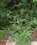 """Beifußblättriges Traubenkraut - Ambrosia artemisiifolia; Bildquelle: <a href=""""https://www.pflanzen-deutschland.de/quellen.php?bild_quelle=Wikipedia User G-u-t"""">Wikipedia User G-u-t</a>; Bildlizenz: <a href=""""https://creativecommons.org/licenses/by-sa/3.0/deed.de"""" target=_blank title=""""Namensnennung - Weitergabe unter gleichen Bedingungen 3.0 Unported (CC BY-SA 3.0)"""">CC BY-SA 3.0</a>; <br>Wiki Commons Bildbeschreibung: <a href=""""https://commons.wikimedia.org/wiki/File:Ambrosia_artemisiifolia_10444.jpg"""" target=_blank title=""""https://commons.wikimedia.org/wiki/File:Ambrosia_artemisiifolia_10444.jpg"""">https://commons.wikimedia.org/wiki/File:Ambrosia_artemisiifolia_10444.jpg</a>"""