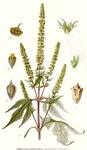 "Dreilappiges Traubenkraut - Ambrosia trifida; Bildquelle: <a href=""https://www.pflanzen-deutschland.de/quellen.php?bild_quelle=Carl Axel Magnus Lindman Bilder ur Nordens Flora 1901-1905"">Carl Axel Magnus Lindman Bilder ur Nordens Flora 1901-1905</a>; Bildlizenz: <a href=""https://creativecommons.org/licenses/publicdomain/deed.de"" target=_blank title=""Public Domain"">Public Domain</a>;"