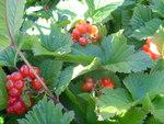 """Steinbeere - Rubus saxatilis; Bildquelle: <a href=""""https://www.pflanzen-deutschland.de/quellen.php?bild_quelle=Wikipedia User Ghislain118"""">Wikipedia User Ghislain118</a>; Bildlizenz: <a href=""""https://creativecommons.org/licenses/by-sa/3.0/deed.de"""" target=_blank title=""""Namensnennung - Weitergabe unter gleichen Bedingungen 3.0 Unported (CC BY-SA 3.0)"""">CC BY-SA 3.0</a>;"""