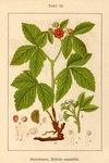 """Steinbeere - Rubus saxatilis; Bildquelle: <a href=""""https://www.pflanzen-deutschland.de/quellen.php?bild_quelle=Deutschlands Flora in Abbildungen 1796"""">Deutschlands Flora in Abbildungen 1796</a>; Bildlizenz: <a href=""""https://creativecommons.org/licenses/publicdomain/deed.de"""" target=_blank title=""""Public Domain"""">Public Domain</a>;"""
