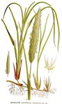 """Strandhafer - Ammophila arenaria; Bildquelle: <a href=""""https://www.pflanzen-deutschland.de/quellen.php?bild_quelle=Carl Axel Magnus Lindman Bilder ur Nordens Flora 1901-1905"""">Carl Axel Magnus Lindman Bilder ur Nordens Flora 1901-1905</a>; Bildlizenz: <a href=""""https://creativecommons.org/licenses/publicdomain/deed.de"""" target=_blank title=""""Public Domain"""">Public Domain</a>;"""