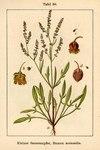 """Kleiner Sauerampfer - Rumex acetosella; Bildquelle: <a href=""""https://www.pflanzen-deutschland.de/quellen.php?bild_quelle=Deutschlands Flora in Abbildungen 1796"""">Deutschlands Flora in Abbildungen 1796</a>; Bildlizenz: <a href=""""https://creativecommons.org/licenses/publicdomain/deed.de"""" target=_blank title=""""Public Domain"""">Public Domain</a>;"""