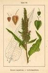 "Wasser-Ampfer - Rumex aquaticus; Bildquelle: <a href=""https://www.pflanzen-deutschland.de/quellen.php?bild_quelle=Deutschlands Flora in Abbildungen 1796"">Deutschlands Flora in Abbildungen 1796</a>; Bildlizenz: <a href=""https://creativecommons.org/licenses/publicdomain/deed.de"" target=_blank title=""Public Domain"">Public Domain</a>;"