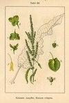 "Krauser Ampfer - Rumex crispus; Bildquelle: <a href=""https://www.pflanzen-deutschland.de/quellen.php?bild_quelle=Deutschlands Flora in Abbildungen 1796"">Deutschlands Flora in Abbildungen 1796</a>; Bildlizenz: <a href=""https://creativecommons.org/licenses/publicdomain/deed.de"" target=_blank title=""Public Domain"">Public Domain</a>;"