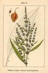 """Fluß-Ampfer - Rumex hydrolapathum; Bildquelle: <a href=""""https://www.pflanzen-deutschland.de/quellen.php?bild_quelle=Deutschlands Flora in Abbildungen 1796"""">Deutschlands Flora in Abbildungen 1796</a>; Bildlizenz: <a href=""""https://creativecommons.org/licenses/publicdomain/deed.de"""" target=_blank title=""""Public Domain"""">Public Domain</a>;"""