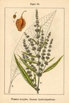 "Fluß-Ampfer - Rumex hydrolapathum; Bildquelle: <a href=""https://www.pflanzen-deutschland.de/quellen.php?bild_quelle=Deutschlands Flora in Abbildungen, Johann Georg Sturm 1796"">Deutschlands Flora in Abbildungen, Johann Georg Sturm 1796</a>; Bildlizenz: <a href=""https://creativecommons.org/licenses/publicdomain/deed.de"" target=_blank title=""Public Domain"">Public Domain</a>;"