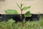 """Stumpfblättriger Ampfer - Rumex obtusifolius; Bildquelle: <a href=""""https://www.pflanzen-deutschland.de/quellen.php?bild_quelle=Wikipedia User Tm"""">Wikipedia User Tm</a>; Bildlizenz: <a href=""""https://creativecommons.org/licenses/by-sa/2.0/deed.de"""" target=_blank title=""""Namensnennung - Weitergabe unter gleichen Bedingungen 2.0 Unported (CC BY-SA 2.0)"""">CC BY 2.0</a>; <br>Wiki Commons Bildbeschreibung: <a href=""""https://commons.wikimedia.org/wiki/File:Rumex_obtusifolius_(27330032695).jpg"""" target=_blank title=""""https://commons.wikimedia.org/wiki/File:Rumex_obtusifolius_(27330032695).jpg"""">https://commons.wikimedia.org/wiki/File:Rumex_obtusifolius_(27330032695).jpg</a>"""