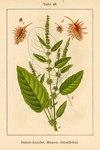 """Stumpfblättriger Ampfer - Rumex obtusifolius; Bildquelle: <a href=""""https://www.pflanzen-deutschland.de/quellen.php?bild_quelle=Deutschlands Flora in Abbildungen 1796"""">Deutschlands Flora in Abbildungen 1796</a>; Bildlizenz: <a href=""""https://creativecommons.org/licenses/publicdomain/deed.de"""" target=_blank title=""""Public Domain"""">Public Domain</a>;"""