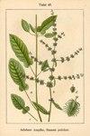 """Schöner Ampfer - Rumex pulcher; Bildquelle: <a href=""""https://www.pflanzen-deutschland.de/quellen.php?bild_quelle=Deutschlands Flora in Abbildungen 1796"""">Deutschlands Flora in Abbildungen 1796</a>; Bildlizenz: <a href=""""https://creativecommons.org/licenses/publicdomain/deed.de"""" target=_blank title=""""Public Domain"""">Public Domain</a>;"""