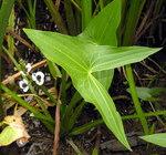 """Gewöhnliches Pfeilkraut - Sagittaria sagittifolia; Bildquelle: <a href=""""https://www.pflanzen-deutschland.de/quellen.php?bild_quelle=Wikipedia User File Upload Bot Magnus Manske"""">Wikipedia User File Upload Bot Magnus Manske</a>; Bildlizenz: <a href=""""https://creativecommons.org/licenses/by-sa/3.0/deed.de"""" target=_blank title=""""Namensnennung - Weitergabe unter gleichen Bedingungen 3.0 Unported (CC BY-SA 3.0)"""">CC BY-SA 3.0</a>;"""