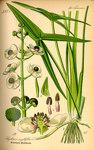 """Gewöhnliches Pfeilkraut - Sagittaria sagittifolia; Bildquelle: <a href=""""https://www.pflanzen-deutschland.de/quellen.php?bild_quelle=Prof. Dr. Otto Wilhelm Thome Flora von Deutschland, Österreich und der Schweiz 1885, Gera, Germany"""">Prof. Dr. Otto Wilhelm Thome Flora von Deutschland, Österreich und der Schweiz 1885, Gera, Germany</a>; Bildlizenz: <a href=""""https://creativecommons.org/licenses/publicdomain/deed.de"""" target=_blank title=""""Public Domain"""">Public Domain</a>;"""