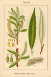 "Silber-Weide - Salix alba; Bildquelle: <a href=""https://www.pflanzen-deutschland.de/quellen.php?bild_quelle=Deutschlands Flora in Abbildungen 1796"">Deutschlands Flora in Abbildungen 1796</a>; Bildlizenz: <a href=""https://creativecommons.org/licenses/publicdomain/deed.de"" target=_blank title=""Public Domain"">Public Domain</a>;"