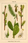 "Ohr-Weide - Salix aurita; Bildquelle: <a href=""https://www.pflanzen-deutschland.de/quellen.php?bild_quelle=Deutschlands Flora in Abbildungen 1796"">Deutschlands Flora in Abbildungen 1796</a>; Bildlizenz: <a href=""https://creativecommons.org/licenses/publicdomain/deed.de"" target=_blank title=""Public Domain"">Public Domain</a>;"
