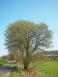 "Sal-Weide - Salix caprea; Bildquelle: <a href=""https://www.pflanzen-deutschland.de/quellen.php?bild_quelle=Wikipedia User Willow"">Wikipedia User Willow</a>; Bildlizenz: <a href=""https://creativecommons.org/licenses/by-sa/3.0/deed.de"" target=_blank title=""Namensnennung - Weitergabe unter gleichen Bedingungen 3.0 Unported (CC BY-SA 3.0)"">CC BY-SA 3.0</a>;"