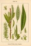 "Bruch-Weide - Salix fragilis; Bildquelle: <a href=""https://www.pflanzen-deutschland.de/quellen.php?bild_quelle=Deutschlands Flora in Abbildungen 1796"">Deutschlands Flora in Abbildungen 1796</a>; Bildlizenz: <a href=""https://creativecommons.org/licenses/publicdomain/deed.de"" target=_blank title=""Public Domain"">Public Domain</a>;"