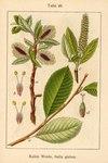 """Kahle Weide - Salix glabra; Bildquelle: <a href=""""https://www.pflanzen-deutschland.de/quellen.php?bild_quelle=Deutschlands Flora in Abbildungen 1796"""">Deutschlands Flora in Abbildungen 1796</a>; Bildlizenz: <a href=""""https://creativecommons.org/licenses/publicdomain/deed.de"""" target=_blank title=""""Public Domain"""">Public Domain</a>;"""