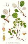 """Kraut-Weide - Salix herbacea; Bildquelle: <a href=""""https://www.pflanzen-deutschland.de/quellen.php?bild_quelle=Carl Axel Magnus Lindman Bilder ur Nordens Flora 1901-1905"""">Carl Axel Magnus Lindman Bilder ur Nordens Flora 1901-1905</a>; Bildlizenz: <a href=""""https://creativecommons.org/licenses/publicdomain/deed.de"""" target=_blank title=""""Public Domain"""">Public Domain</a>;"""
