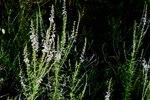"""Lochschlund - Anarrhinum bellidifolium; Bildquelle: <a href=""""https://www.pflanzen-deutschland.de/quellen.php?bild_quelle=Wikipedia User Meneerke bloem"""">Wikipedia User Meneerke bloem</a>; Bildlizenz: <a href=""""https://creativecommons.org/licenses/by-sa/3.0/deed.de"""" target=_blank title=""""Namensnennung - Weitergabe unter gleichen Bedingungen 3.0 Unported (CC BY-SA 3.0)"""">CC BY-SA 3.0</a>; <br>Wiki Commons Bildbeschreibung: <a href=""""https://commons.wikimedia.org/wiki/File:Anarrhinum_bellidifolium.JPG"""" target=_blank title=""""https://commons.wikimedia.org/wiki/File:Anarrhinum_bellidifolium.JPG"""">https://commons.wikimedia.org/wiki/File:Anarrhinum_bellidifolium.JPG</a>"""