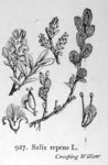 "Kriech-Weide - Salix repens; Bildquelle: <a href=""https://www.pflanzen-deutschland.de/quellen.php?bild_quelle=Illustrations of the British Flora 1924 - Walter Hood Fitch"">Illustrations of the British Flora 1924 - Walter Hood Fitch</a>; Bildlizenz: <a href=""https://creativecommons.org/licenses/publicdomain/deed.de"" target=_blank title=""Public Domain"">Public Domain</a>;"