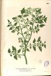 """Tomate - Solanum lycopersicum; Bildquelle: <a href=""""https://www.pflanzen-deutschland.de/quellen.php?bild_quelle=Francisco Manuel Blanco"""">Francisco Manuel Blanco</a>; Bildlizenz: <a href=""""https://creativecommons.org/licenses/by-sa/3.0/deed.de"""" target=_blank title=""""Namensnennung - Weitergabe unter gleichen Bedingungen 3.0 Unported (CC BY-SA 3.0)"""">CC BY-SA 3.0</a>;"""