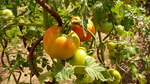 "Tomate - Solanum lycopersicum; Bildquelle: <a href=""https://www.pflanzen-deutschland.de/quellen.php?bild_quelle=Wikipedia User Sevela.p"">Wikipedia User Sevela.p</a>; Bildlizenz: <a href=""https://creativecommons.org/licenses/by-nc/3.0/deed.de"" target=_blank title=""Namensnennung - Nicht kommerziell 3.0 Unported (CC BY-NC 3.0)"">CC BY-NC 3.0</a>; <br>Wiki Commons Bildbeschreibung: <a href=""https://commons.wikimedia.org/wiki/File:Solanum_lycopersicum,_Fry%C5%A1t%C3%A1k_(2).jpg"" target=_blank title=""https://commons.wikimedia.org/wiki/File:Solanum_lycopersicum,_Fry%C5%A1t%C3%A1k_(2).jpg"">https://commons.wikimedia.org/wiki/File:Solanum_lycopersicum,_Fry%C5%A1t%C3%A1k_(2).jpg</a>"