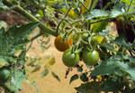 """Tomate - Solanum lycopersicum; Bildquelle: <a href=""""https://www.pflanzen-deutschland.de/quellen.php?bild_quelle=Wikipedia User Vinayaraj"""">Wikipedia User Vinayaraj</a>; Bildlizenz: <a href=""""https://creativecommons.org/licenses/by-sa/3.0/deed.de"""" target=_blank title=""""Namensnennung - Weitergabe unter gleichen Bedingungen 3.0 Unported (CC BY-SA 3.0)"""">CC BY-SA 3.0</a>; <br>Wiki Commons Bildbeschreibung: <a href=""""https://commons.wikimedia.org/wiki/File:Solanum_lycopersicum_cerasiforme_03.jpg"""" target=_blank title=""""https://commons.wikimedia.org/wiki/File:Solanum_lycopersicum_cerasiforme_03.jpg"""">https://commons.wikimedia.org/wiki/File:Solanum_lycopersicum_cerasiforme_03.jpg</a>"""