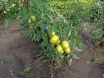"""Tomate - Solanum lycopersicum; Bildquelle: <a href=""""https://www.pflanzen-deutschland.de/quellen.php?bild_quelle=Wikipedia User AfroBrazilian"""">Wikipedia User AfroBrazilian</a>; Bildlizenz: <a href=""""https://creativecommons.org/licenses/by-sa/3.0/deed.de"""" target=_blank title=""""Namensnennung - Weitergabe unter gleichen Bedingungen 3.0 Unported (CC BY-SA 3.0)"""">CC BY-SA 3.0</a>; <br>Wiki Commons Bildbeschreibung: <a href=""""https://commons.wikimedia.org/wiki/File:Solanum_lycopersicum_01.JPG"""" target=_blank title=""""https://commons.wikimedia.org/wiki/File:Solanum_lycopersicum_01.JPG"""">https://commons.wikimedia.org/wiki/File:Solanum_lycopersicum_01.JPG</a>"""