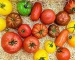 """Tomate - Solanum lycopersicum; Bildquelle: <a href=""""https://www.pflanzen-deutschland.de/quellen.php?bild_quelle=Wikipedia User Filo gen"""">Wikipedia User Filo gen</a>; Bildlizenz: <a href="""""""" target=_blank title=""""""""></a>;"""