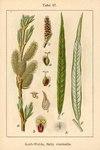 "Korb-Weide - Salix viminalis; Bildquelle: <a href=""https://www.pflanzen-deutschland.de/quellen.php?bild_quelle=Deutschlands Flora in Abbildungen 1796"">Deutschlands Flora in Abbildungen 1796</a>; Bildlizenz: <a href=""https://creativecommons.org/licenses/publicdomain/deed.de"" target=_blank title=""Public Domain"">Public Domain</a>;"