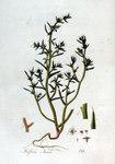 """Kali-Salzkraut - Salsola kali; Bildquelle: <a href=""""https://www.pflanzen-deutschland.de/quellen.php?bild_quelle=Jan Kops, Flora Batava, Volume 2 1807"""">Jan Kops, Flora Batava, Volume 2 1807</a>; Bildlizenz: <a href=""""https://creativecommons.org/licenses/by-sa/3.0/deed.de"""" target=_blank title=""""Namensnennung - Weitergabe unter gleichen Bedingungen 3.0 Unported (CC BY-SA 3.0)"""">CC BY-SA 3.0</a>;"""