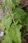 """Quirlblütiger Salbei - Salvia verticillata; Bildquelle: <a href=""""https://www.pflanzen-deutschland.de/quellen.php?bild_quelle=Wikipedia User Sporti"""">Wikipedia User Sporti</a>; Bildlizenz: <a href=""""https://creativecommons.org/licenses/by-sa/3.0/deed.de"""" target=_blank title=""""Namensnennung - Weitergabe unter gleichen Bedingungen 3.0 Unported (CC BY-SA 3.0)"""">CC BY-SA 3.0</a>; <br>Wiki Commons Bildbeschreibung: <a href=""""https://commons.wikimedia.org/wiki/File:Salvia_verticillata_PID1854-2.jpg"""" target=_blank title=""""https://commons.wikimedia.org/wiki/File:Salvia_verticillata_PID1854-2.jpg"""">https://commons.wikimedia.org/wiki/File:Salvia_verticillata_PID1854-2.jpg</a>"""