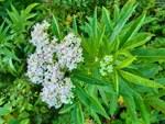 """Zwerg-Holunder - Sambucus ebulus; Bildquelle: © <a href=""""https://www.pflanzen-deutschland.de/quellen.php?bild_quelle=Barbara, Vielen Dank"""">Barbara, Vielen Dank</a> - <b>All rights reserved</b>"""
